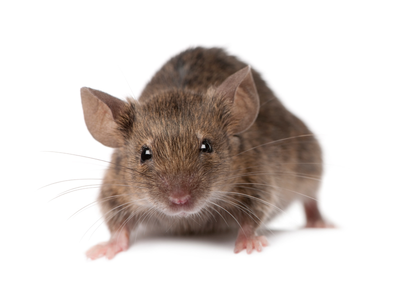 AEPMA Pest profile: House Mice