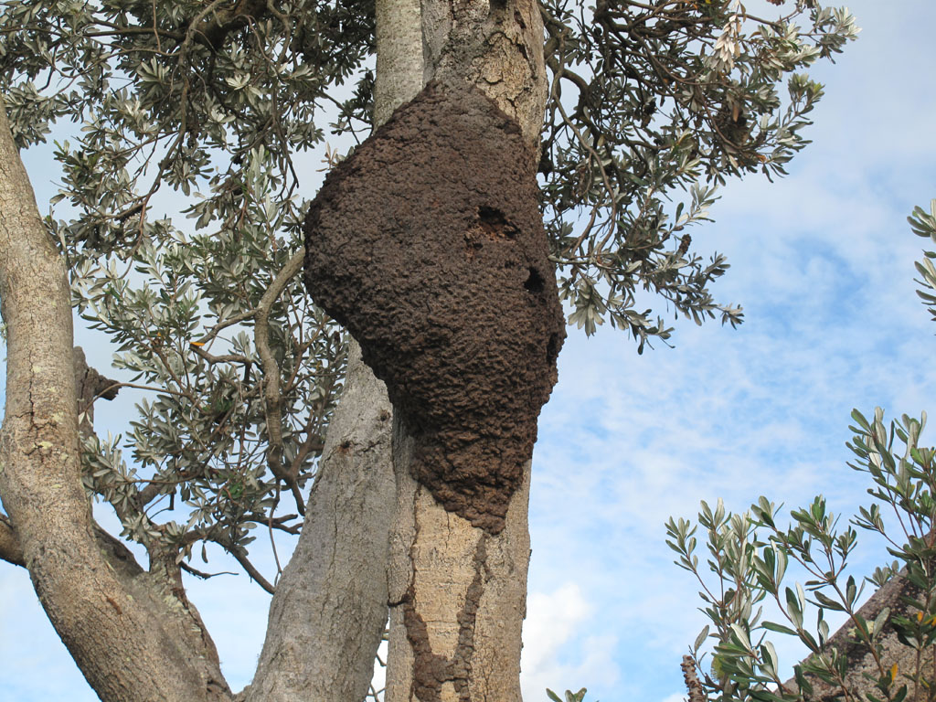 AEPMA Pest profile: Subterranean Termites