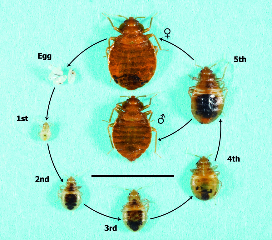 Aepma Pest Profile Bed Bugs