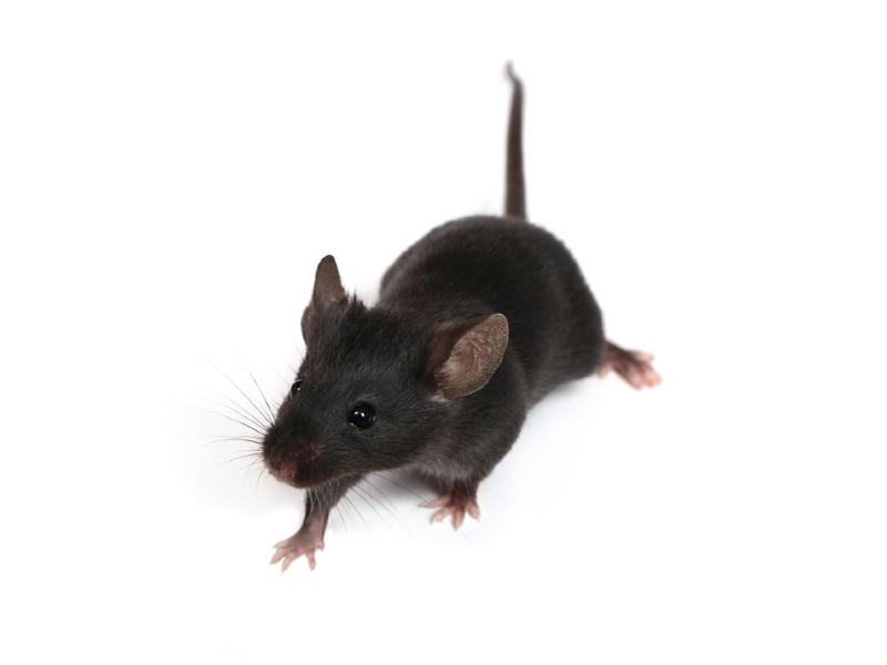 Aepma Pest Profile House Mice